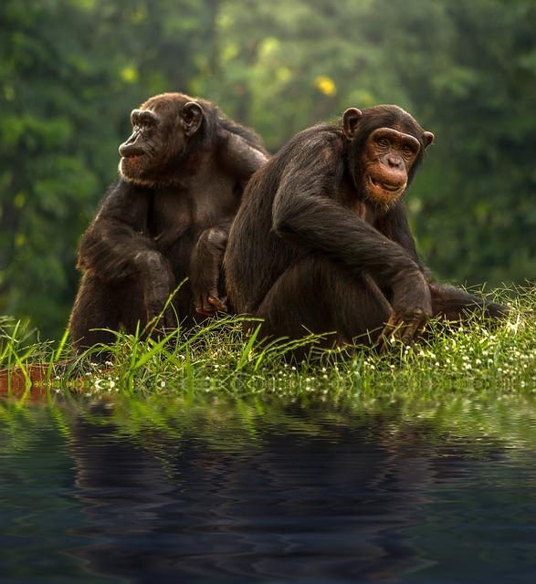 チンパンジーに関する雑学・豆知識・トリビア