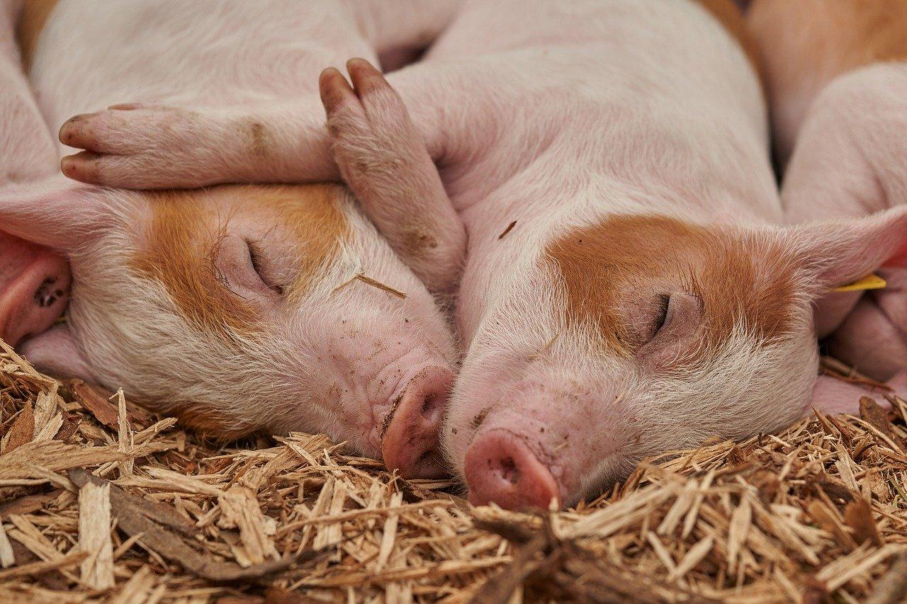 豚(ブタ)に関する雑学・豆知識・トリビア